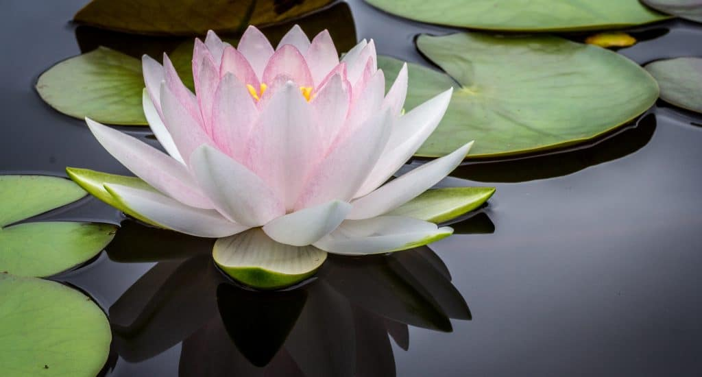 white lotus and lily pad
